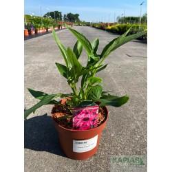 Echinacea 'Purple Emperor' PBR