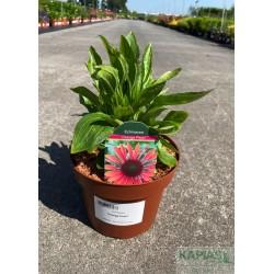 Echinacea 'Orange Pearl'