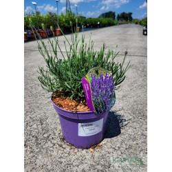 Lavandula angustifolia 'Hidcote'