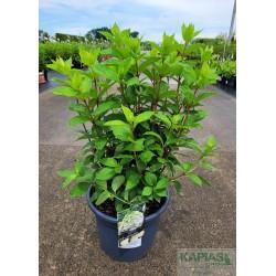Hydrangea paniculata MAGICAL MONT BLANC 'Kolmamon'