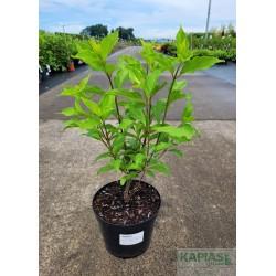 Hydrangea paniculata GREAT STAR 'Le Vasterival'PBR