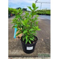 Hydrangea paniculata 'Little Fraise'