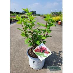 Hydrangea paniculata FIRE LIGHT 'Smhpfl' PBR
