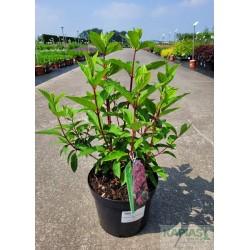 Hydrangea paniculata MAGICAL FIRE 'Bokraplume' PBR