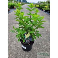 Hydrangea paniculata 'Limelight' PBR