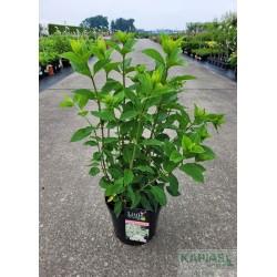 Hydrangea paniculata LITTLE LIME 'Jane' PBR ®