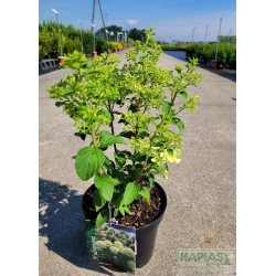 Hydrangea paniculata 'Little Alf'
