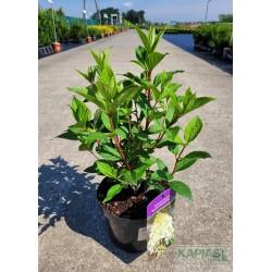 Hydrangea paniculata DIAMANTINO 'Ren101'