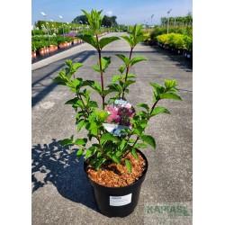 Hydrangea paniculata FRAISE MELBA 'Renba'