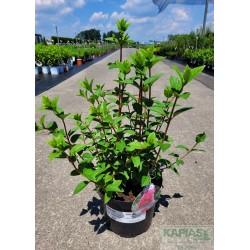 Hydrangea paniculata SUNDAE FRAISE 'Rensun' PBR