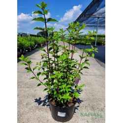 Hydrangea paniculata VANILLE-FRAISE 'Renhy' PBR