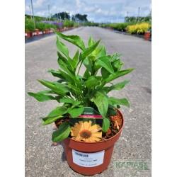 Echinacea 'Yellow Pearl' PBR