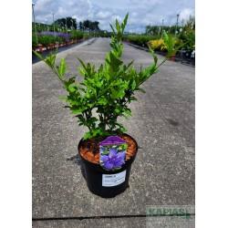Hibiscus syriacus BLUE CHIFFON 'Notwood3' PBR