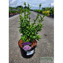 Hibiscus syriacus PINK CHIFFON 'Jwnwood4'