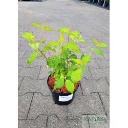 Cornus sanguinea 'Annie's Winter Orange'