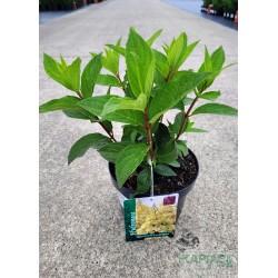 Hydrangea paniculata CANDLELIGHT 'Hpopr013' PBR