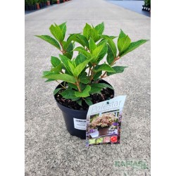 Hydrangea paniculata POLESTAR 'Breg14' PBR