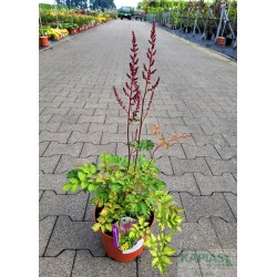 Astilbe COLOR FLASH LIME 'Beauty of Lisse'