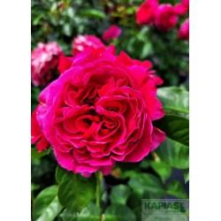 Rosa 'Marietta'®