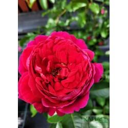 Rosa SOUL 'Tan09505' PBR