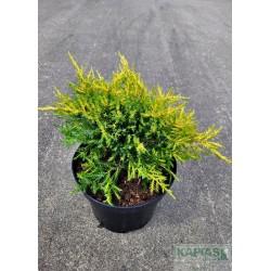Juniperus pfitzeriana x 'Gold Star'