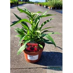 Echinacea 'Fountain Red'