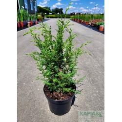Juniperus communis 'Suecica'