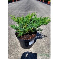 Juniperus squamata 'Hunnetorp'