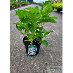 Hydrangea macrophylla 'Mme E. Chanley'