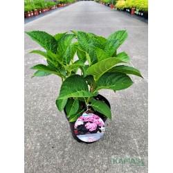 Hydrangea macrophylla LOVE 'Youme H1917' PBR