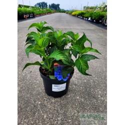 Hydrangea serrata MAGIC SEDUCTION® 'Annie's Blue'