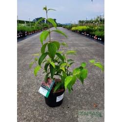 Viburnum plicatum 'JWW-1' PBR KILIMANDJARO®