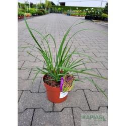 Pennisetum alopecuroides 'Black Beauty'