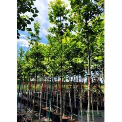 Quercus robur