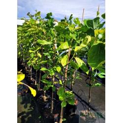 Magnolia brooklynensis x 'Yellow Bird'