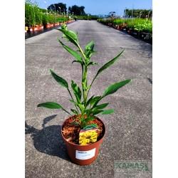 Echinacea 'Cleopatra' PBR