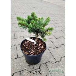 Picea pungens 'Maigold'
