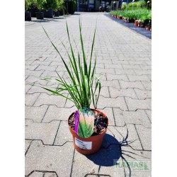 Calamagrostis acutiflora x 'Karl Foerster'