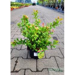 Pieris japonica 'Little Heath Green'