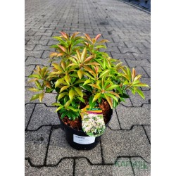 Pieris japonica 'Scarlett O'Hara'