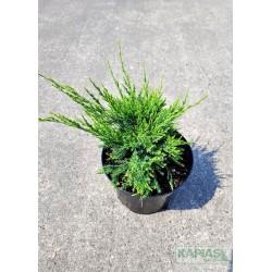 Juniperus pfitzeriana x 'Mint Julep'
