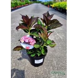 Hydrangea macrophylla MISS SAORI 'H2002'