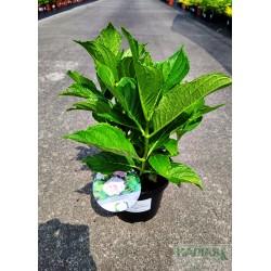 Hydrangea macrophylla PEPPERMINT 'Youmethirteen'