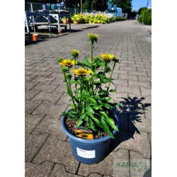 Echinacea 'Kismet® Yellow' PBR