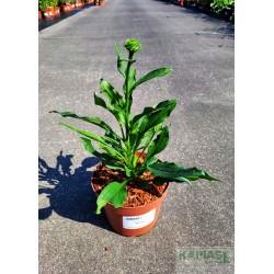 Echinacea purpurea 'Meringue'