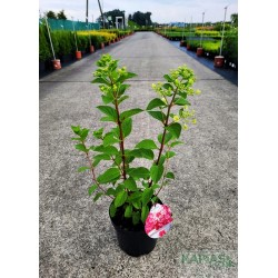 Hydrangea paniculata DIAMANT ROUGE 'Rendia' PBR