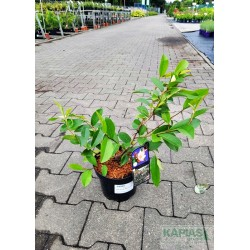 Magnolia FAIRY BLUSH 'Micjur01' PBR