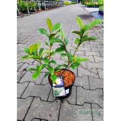 Magnolia FAIRY CREAM 'Micjur02' PBR