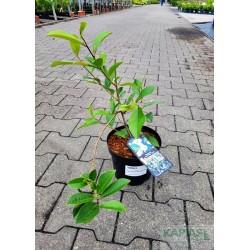 Magnolia FAIRY WHITE 'Micjur05' PBR