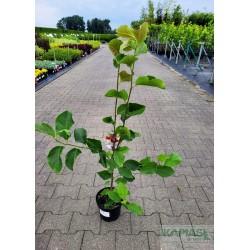 Magnolia 'Genie' PBR